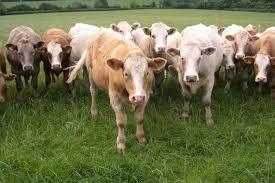 Aprobada la Interprofesional de la carne de vacuno